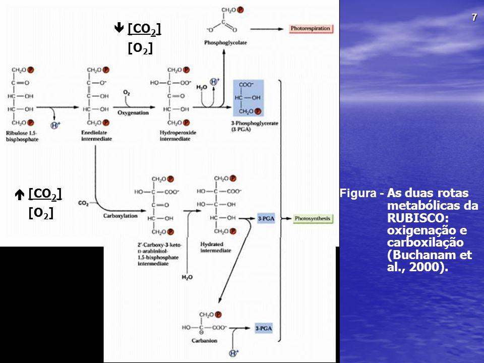  [CO2] [O2]  [CO2] [O2] Figura - As duas rotas metabólicas da RUBISCO: oxigenação e carboxilação (Buchanam et al., 2000).